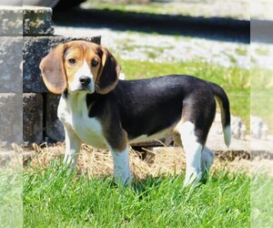 Beagle Puppy for Sale in RICHLAND, Pennsylvania USA