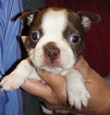 CHRISTMAS PUPPIES BOSTON TERRIERS Some RARE colors