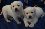 Labrador Retriever Puppy For Sale in SENECA, KS, USA