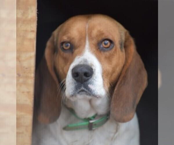 Medium Photo #1 Beagle Puppy For Sale in GREENWOOD, AR, USA