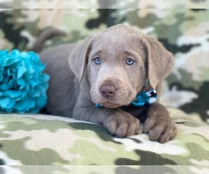Labrador Retriever Puppy for sale in LAKELAND, FL, USA