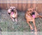 Small Photo #357 Collie-Dogue de Bordeaux Mix Puppy For Sale in Dallas, TX, USA