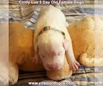 Small Photo #22 Dogo Argentino Puppy For Sale in PINEVILLE, MO, USA