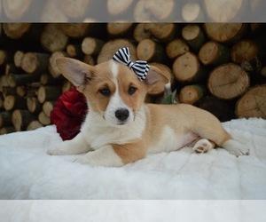 Pembroke Welsh Corgi Puppy for sale in HONEY BROOK, PA, USA