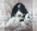 Puppy 6 Aussiedoodle
