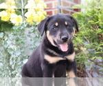 Small #3 Akita-Labrador Retriever Mix