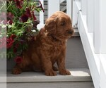 SWEET MINI GOLDENDOODLE MALE RYLIE