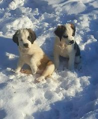 AKC Saint Bernard 11 Weeks Old