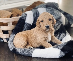 Goldendoodle Puppy for Sale in MARION, Ohio USA