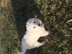 Great Pyrenees Puppy For Sale in GORMAN, TX, USA