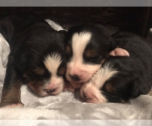 Bernese Mountain Dog Puppy for Sale in BERNVILLE, Pennsylvania USA