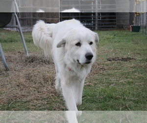 Mother of the Great Pyrenees puppies born on 08/18/2021