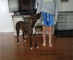 Small Photo #1 Boxer Puppy For Sale in PLEASANT LAKE, IN, USA