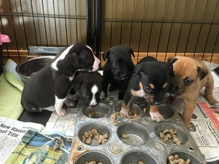 Mountain Feist Puppy For Sale in SAINT CLAIR, MO