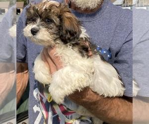 Schweenie Dog for Adoption in BANNER ELK, North Carolina USA