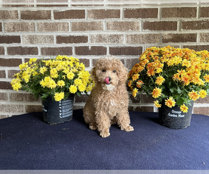 Poodle (Toy) Puppy for Sale in MUNDELEIN, Illinois USA