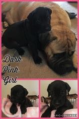 Bullmastiff-Great Dane Mix Puppy For Sale in BUCKHANNON, WV, USA