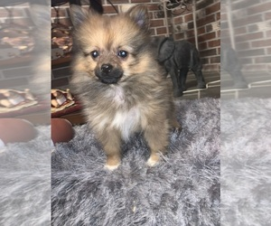 Pomeranian Puppy for Sale in MIDDLEBORO, Massachusetts USA
