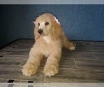 Small #12 Poodle (Standard)