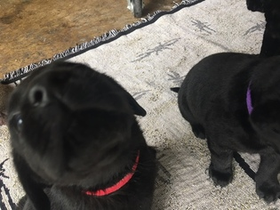 Labrador Retriever Puppy For Sale in DEER PARK, TX, USA
