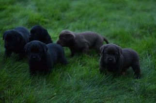 Labrador Retriever Puppy For Sale in NORTH EAST, PA, USA