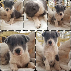 Mutt Puppy For Sale in REEDS, MO, USA