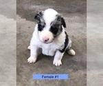 Puppy 2 Border-Aussie
