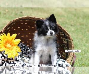 Pomeranian Puppy for sale in DILLWYN, VA, USA