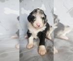 Puppy 4 Aussiedoodle-Poodle (Standard) Mix