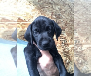 German Shorthaired Pointer Puppy for Sale in MURRIETA, California USA