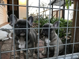 French Bulldog Puppy For Sale in TEMPLETON, CA