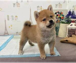 Shiba Inu Puppy for sale in DETROIT, MI, USA