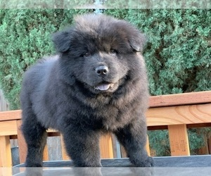 Chow Chow Puppy for Sale in CANYON CNTRY, California USA