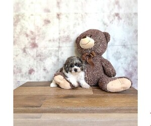 Poodle (Toy)-Shih Tzu Mix Puppy for sale in CLEVELAND, NC, USA