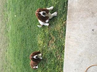 Basset Hound Puppy For Sale in BELTON, TX