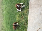 Basset Hound Puppy For Sale in BELTON, TX