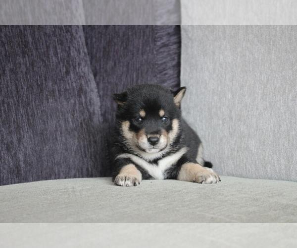 Medium Photo #3 Shiba Inu Puppy For Sale in DALLAS, TX, USA