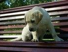 Labrador Retriever Puppy For Sale in LOS ANGELES, CA, USA