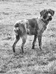 Small #5 Wirehaired Pointing Griffon
