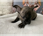 Small #11 French Bulldog