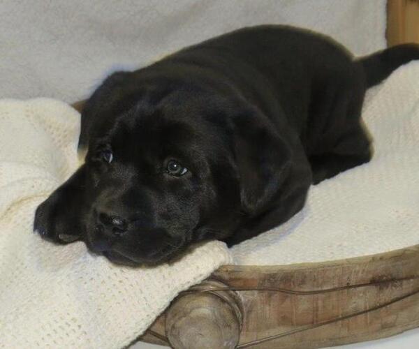 Medium Photo #3 Labrador Retriever Puppy For Sale in MILLERSBURG, OH, USA