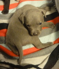 Staffordshire Bull Terrier Puppy For Sale in GRANTS PASS, OR