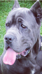 Cane Corso Puppy For Sale in MADISONVILLE, TN, USA