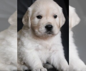 Golden Retriever Puppy for Sale in BLOUNTVILLE, Tennessee USA