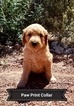 Goldendoodle Puppy For Sale in RIO RANCHO, NM, USA