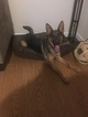 German Shepherd Dog Puppy For Sale in NORFOLK, VA, USA