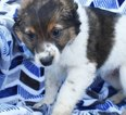 Australian Stumpy Tail Cattle Dog-Jack-Rat Terrier Mix Puppy For Sale in EPHRATA, PA, USA