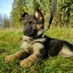 Beautiful GSD Puppies of Champion Lines
