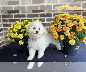 Poodle (Toy)-ShihPoo Mix Puppy for Sale in MUNDELEIN, Illinois USA