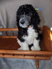 Poodle (Standard) Puppy For Sale in EUREKA, CA